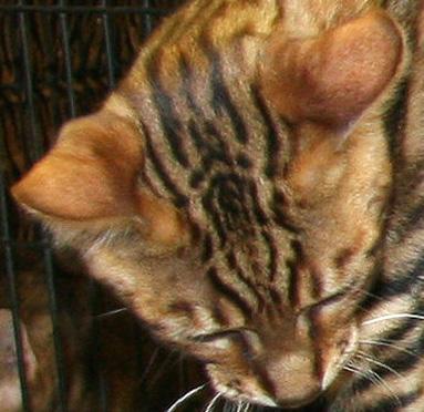 Hayward Tica Cat Show